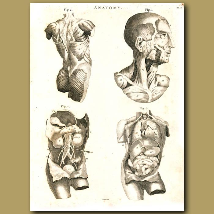 Antique print. Anatomy: Showing muscles and internal organs etc.