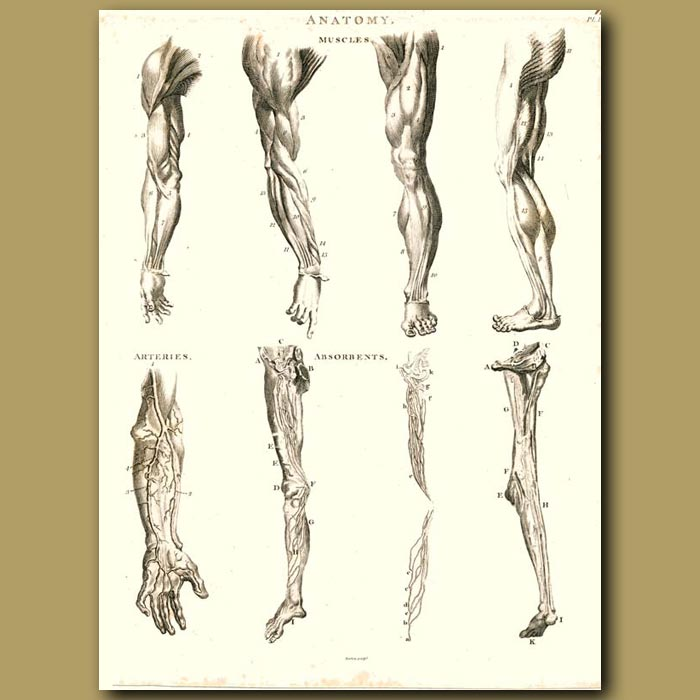 Antique print. Anatomy: Muscles and arteries etc.