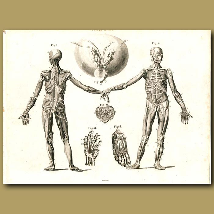 Antique print. Anatomy: Skeleton and muscles etc.