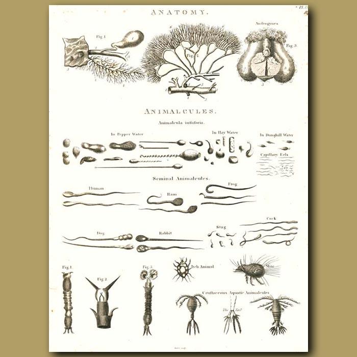 Antique print. Anatomy