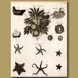 Bread Fruit Tree, Argonauta Argo Nautilus, Starfish