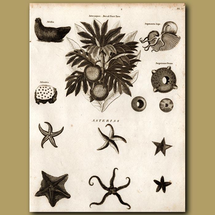 Antique print. Bread Fruit Tree, Argonauta Argo Nautilus, Starfish