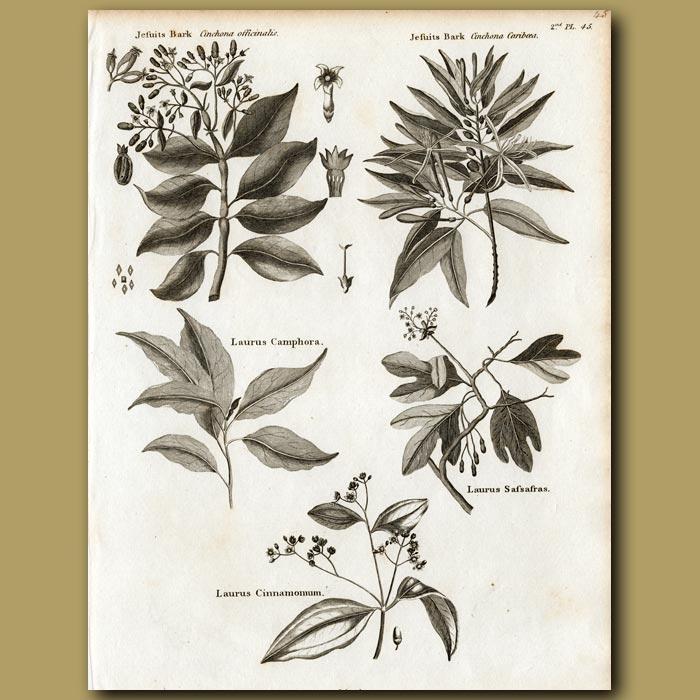 Antique print. Jesuits Bark, Laurus Camphora, Laurus Safsafras