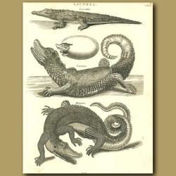 Crocodile, Cayman and Alligator
