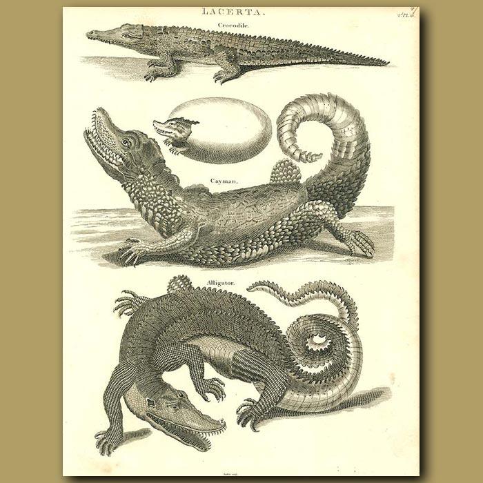 Antique print. Crocodile, cayman and Alligator