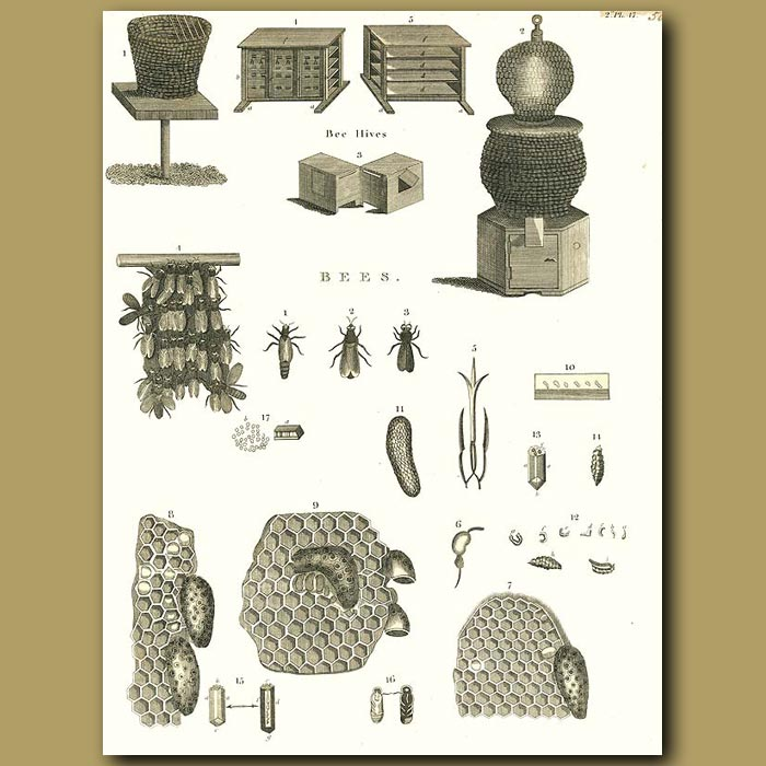 Antique print. Bees and Beehive