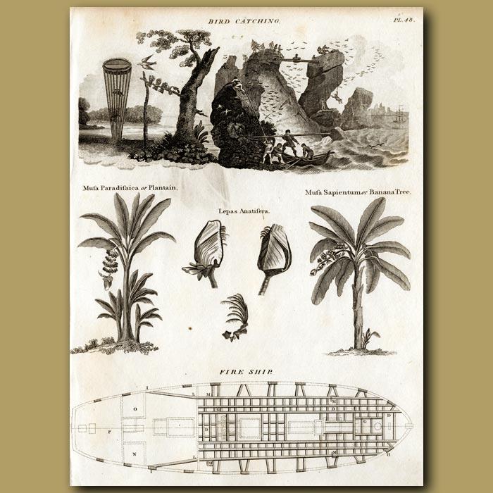 Antique print. Bird Catching, Banana trees, Mussels