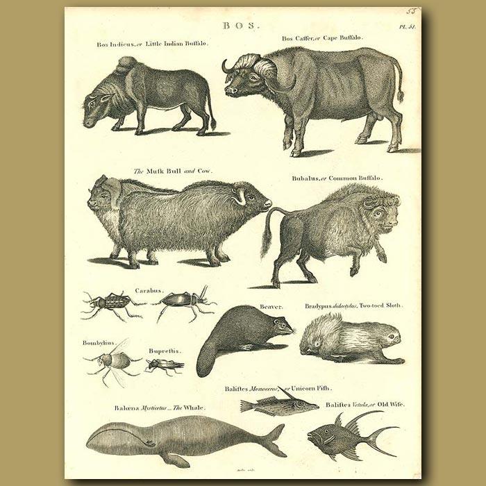 Antique print. Buffalo