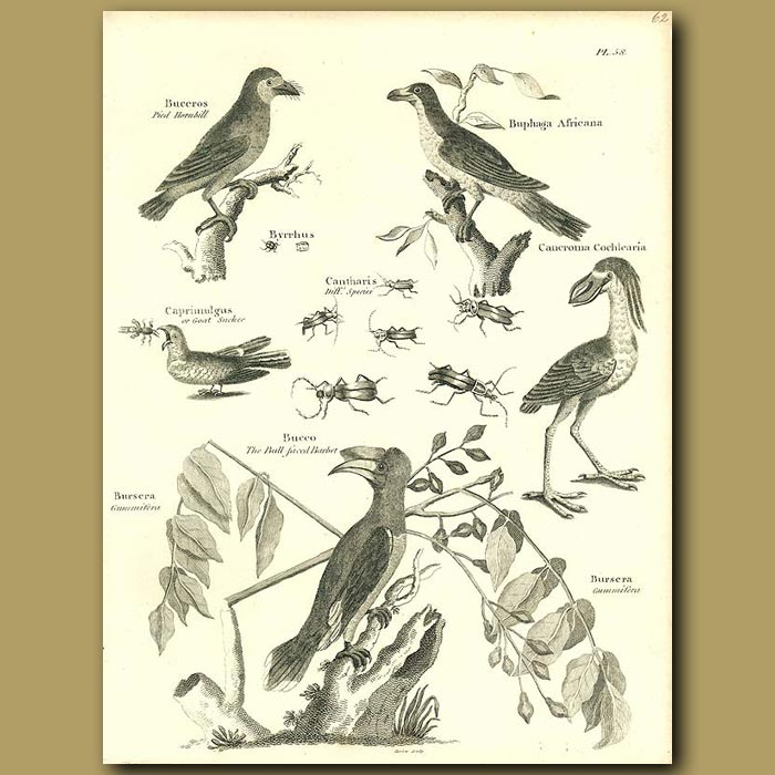 Antique print. Birds: Pied Hornbill, Barbet, Goat Sucker etc.