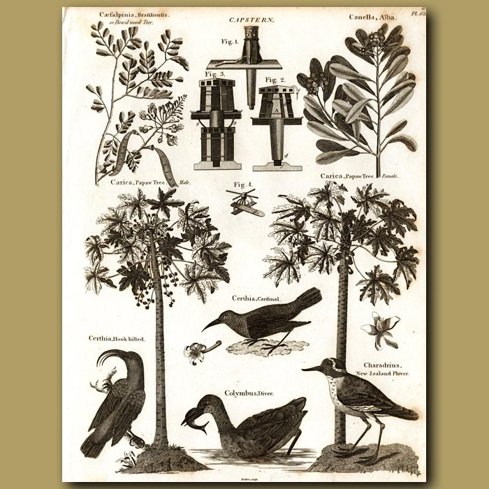 Antique print. Brazil Wood Tree, Cinnamon Bark Tree, Pawpaw Trees