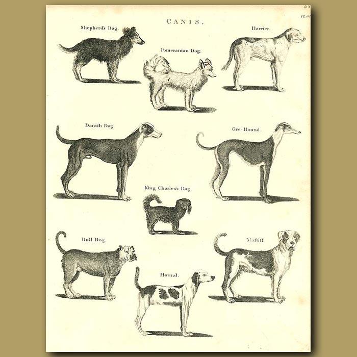 Antique print. Dogs: Shepherd, Pomeranian, Greyhound, King Charles, Mastiff etc.
