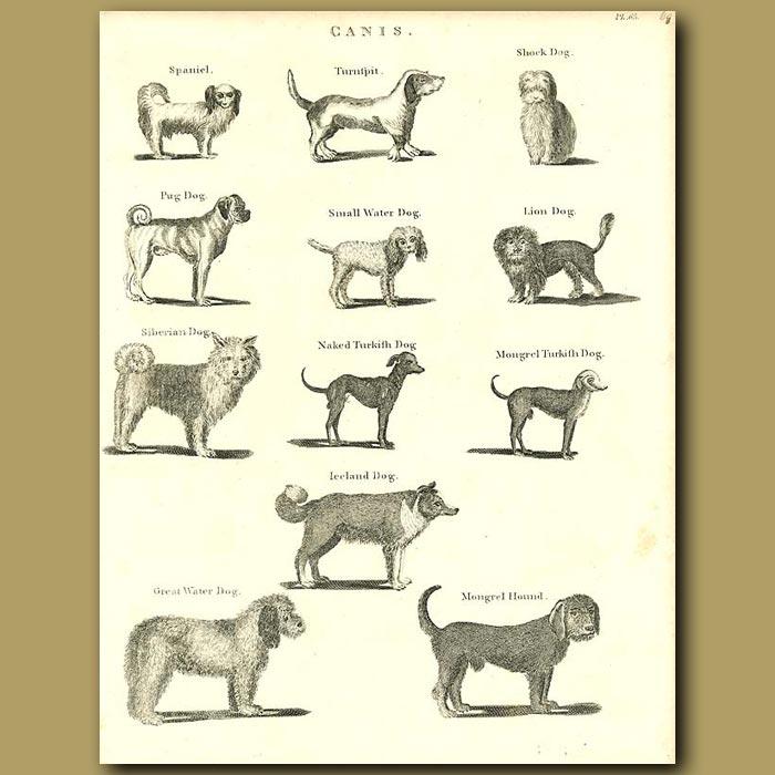 Antique print. Dogs: Spaniel, Pug, Siberian,Turkish etc.