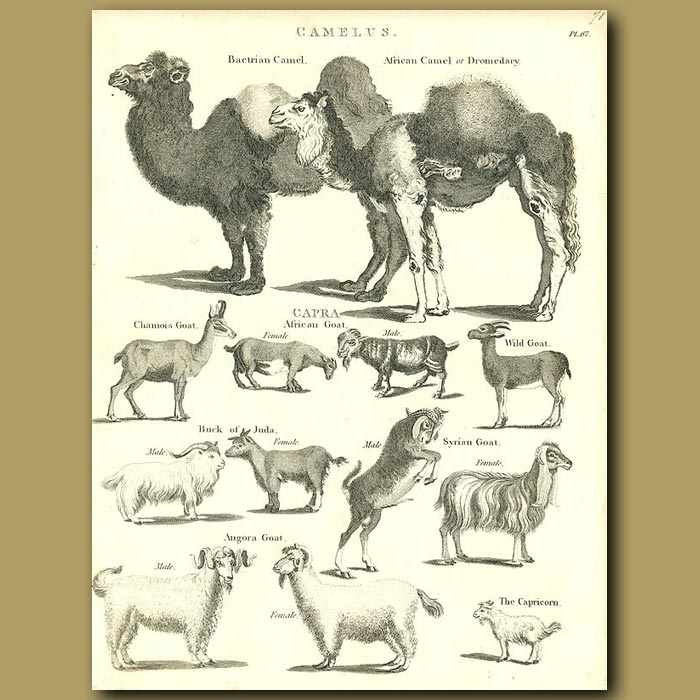 Antique print. Camels and goats
