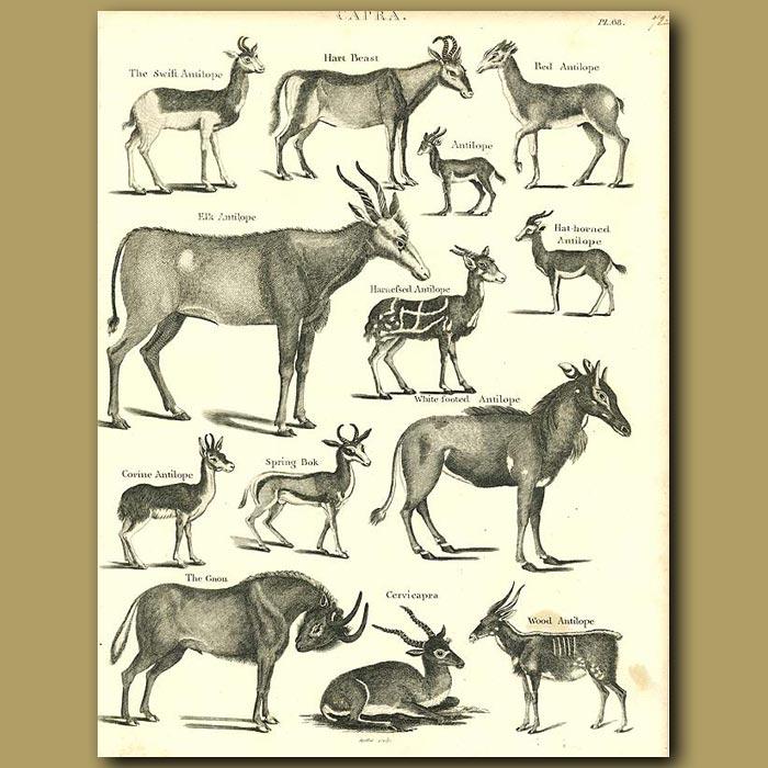 Antique print. Antelope: Elk, Springbok, Gnu etc.
