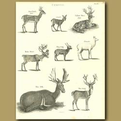 Antelope: Reindeer, Elk, Stag etc.