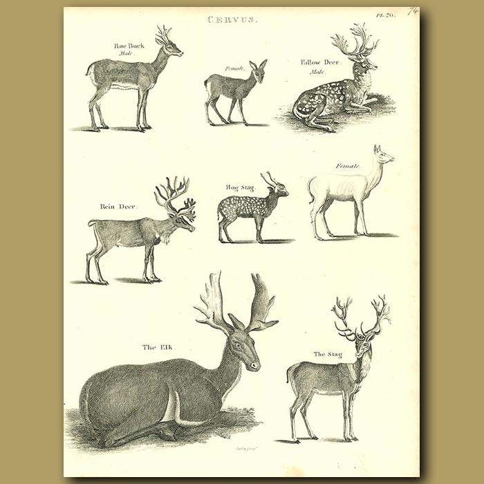 Antique print. Antelope: Reindeer, Elk, Stag etc.