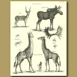 Moose and Giraffe