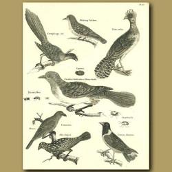 Birds: Shining Cuckoo,Honey Guide, Roller Etc.
