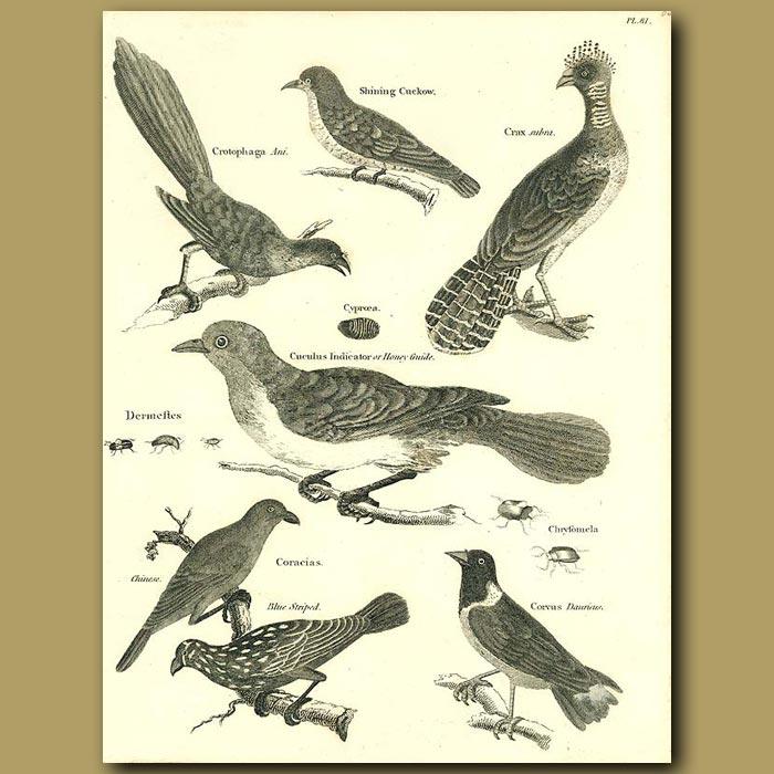 Antique print. Birds: Shining Cuckoo,Honey Guide, Roller etc.