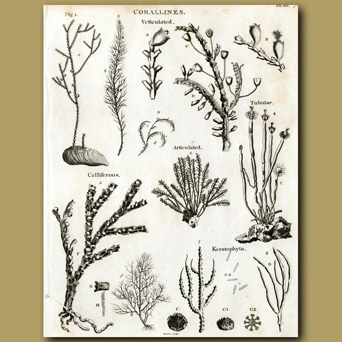 Antique print. Different types of soft corals