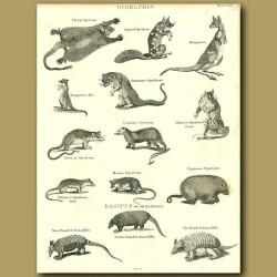 Marsupials: Opposum, Kangaroo etc.
