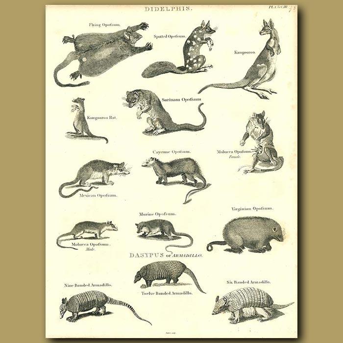 Antique print. Marsupials: Opposum, Kangaroo etc.