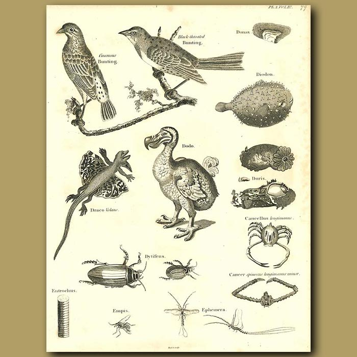 Antique print. Zoology. Various animals including Dodo, Pufferfish, Beetls and Birds