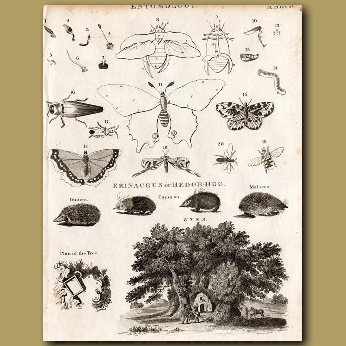 Antique print. Butterflies, Hedgehogs and Hundred Horse Chestnut Tree in Etna