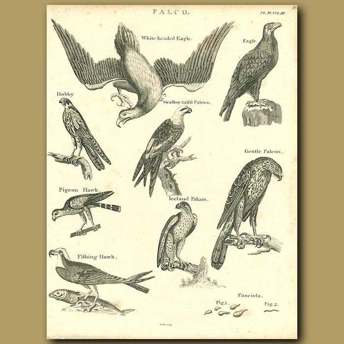 Antique print. Birds of Prey