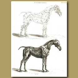 Farriery: Musculature of the horse etc.