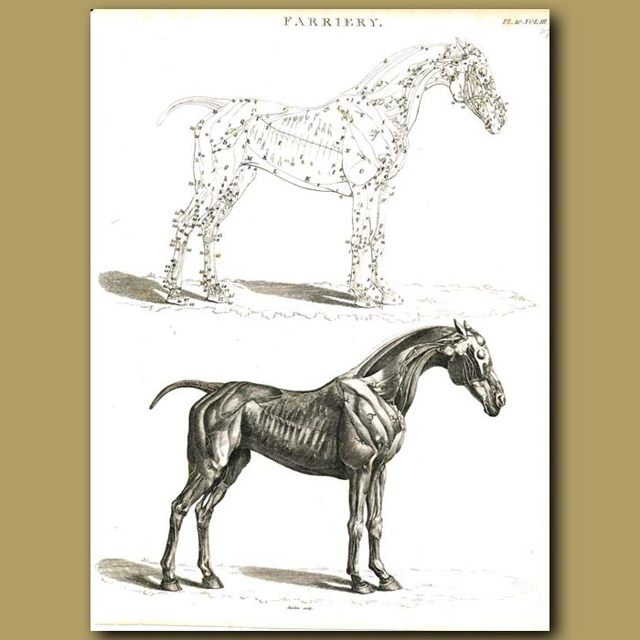 Antique print. Farriery: Musculature of the horse etc.