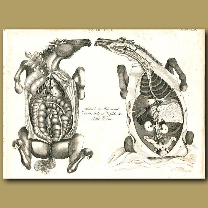 Antique print. Farriery: Internal organs of the horse etc.