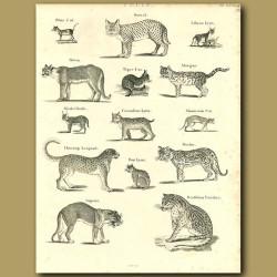Wild Cats: Serval, Canadian Lynx, Cheetah, Ocelot