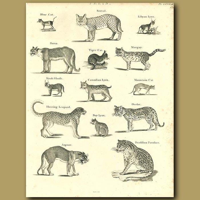 Antique print. Wild Cats: Serval, Canadian Lynx, Cheetah, Ocelot