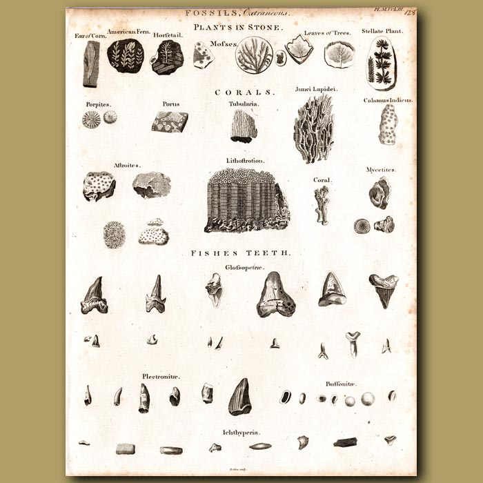 Antique print. Fossils of moss, coral and fish teeth