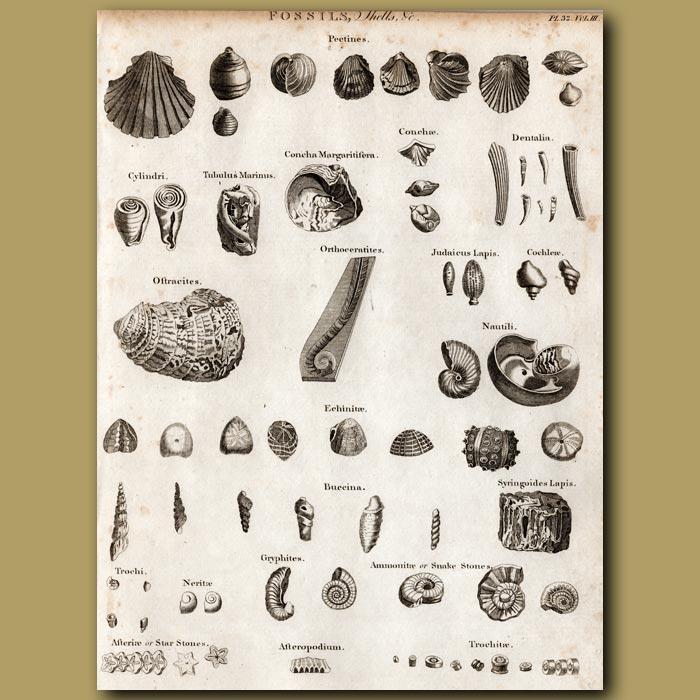 Antique print. Fossils of shells