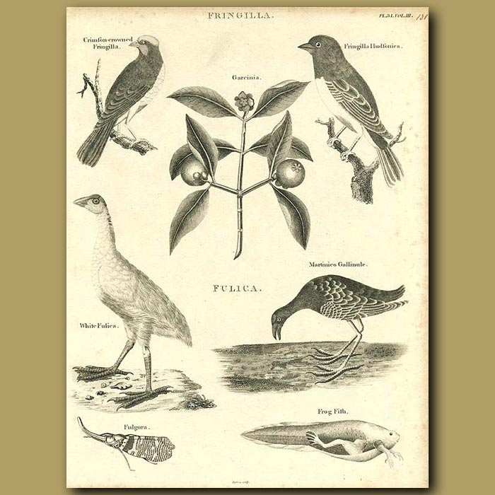 Antique print. Birds: Finches, Coot and Gallinule etc.