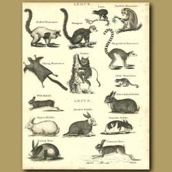 Ring-tailed Lemur, Tarsier and rabbits