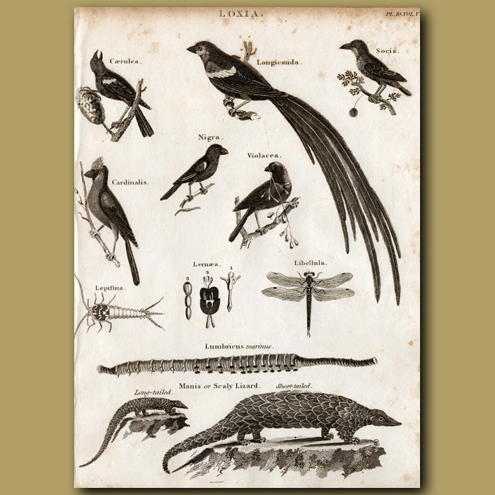 Antique print. Blue Grosbeak, Black Grosbeak, Red Crossbill