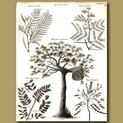 Mimosa trees