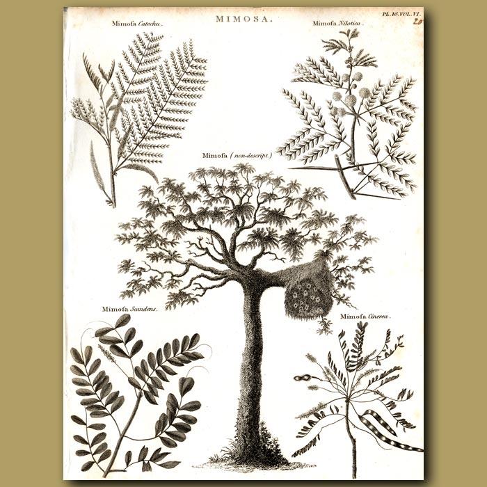 Antique print. Mimosa trees