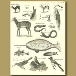 Musk Deer, Narwhal