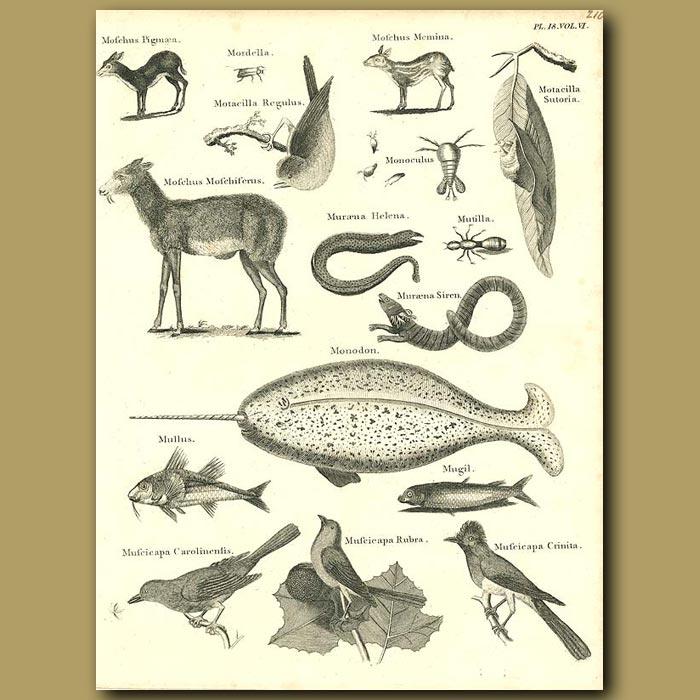 Antique print. Musk Deer, Narwhal