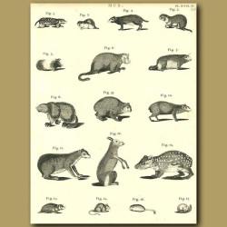 Rodents: Guinea Pig, Field Mouse, Dormouse etc.