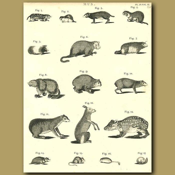 Antique print. Rodents: Guinea Pig, Field Mouse, Dormouse etc.