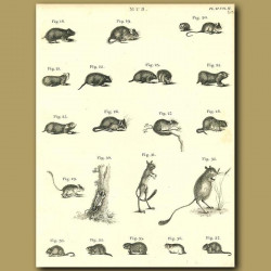 Rodents: Rats, Mice etc.