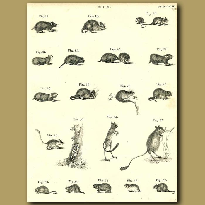 Antique print. Rodents: Rats, Mice etc.