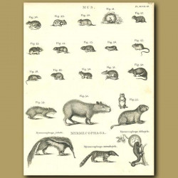 Rodents: Capybara, Musk rat etc.
