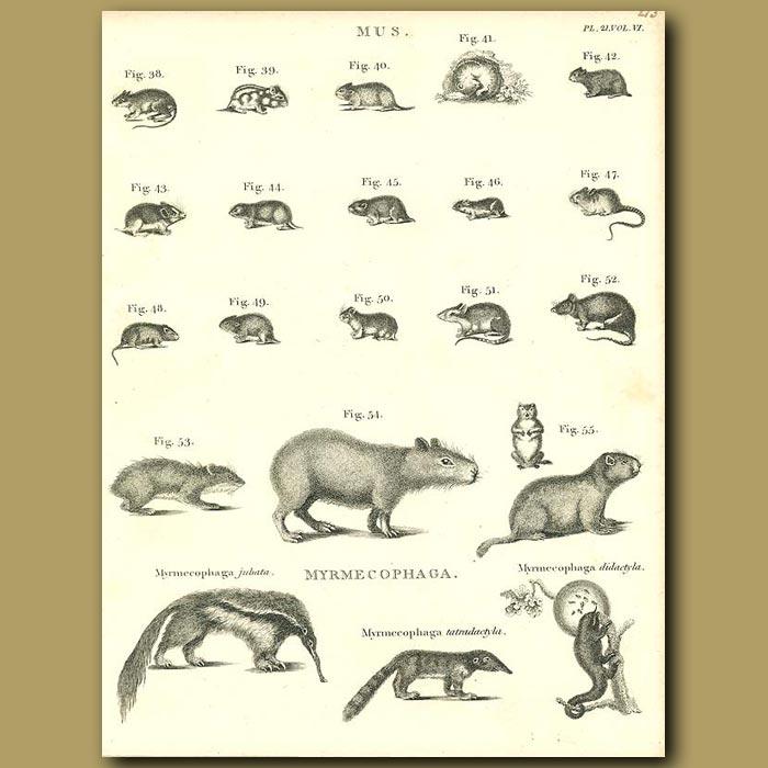 Antique print. Rodents: Capybara, Musk rat etc.