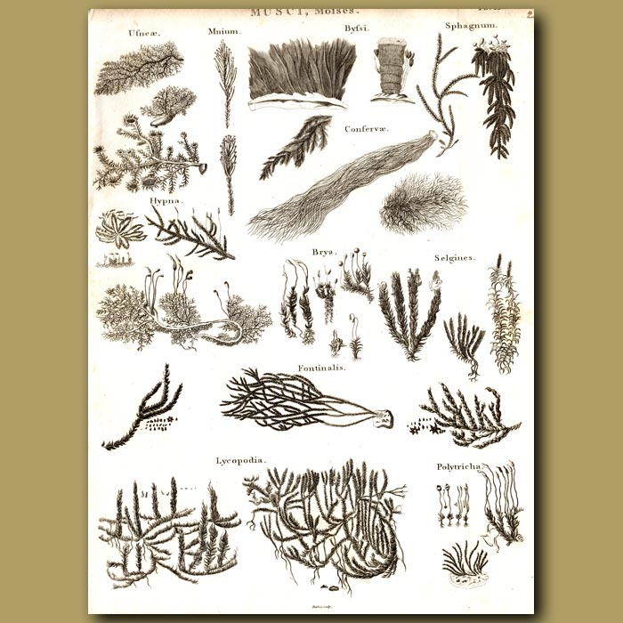 Antique print. Moss